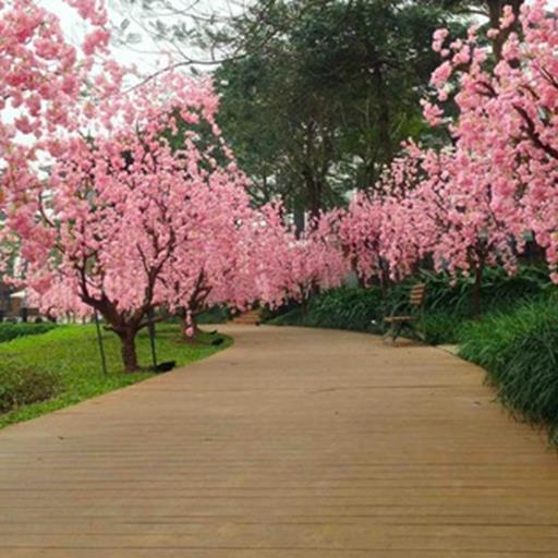 Mê mẩn con đường hoa anh đào rực rỡ tại Thủ đô