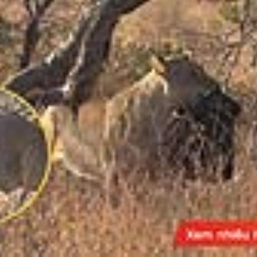 Nô đùa với túi ni lông đen, chú sư tử này đang viết tiếp chuyện buồn mang tên 'ô nhiễm rác nhựa'